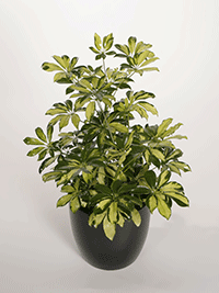 Plant republic indoor plant service - Schefflera variegata ...