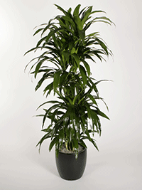Delray Plants Mass Cane in 8-3/4 in. Pot-10MC2 - The Home Depot